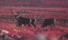 A group of three moose in an open field